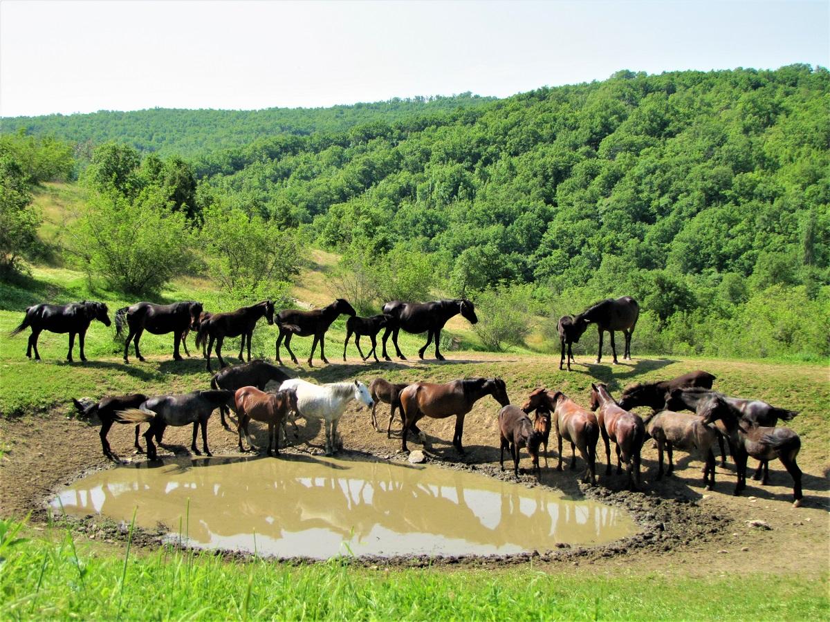 karakachan horses