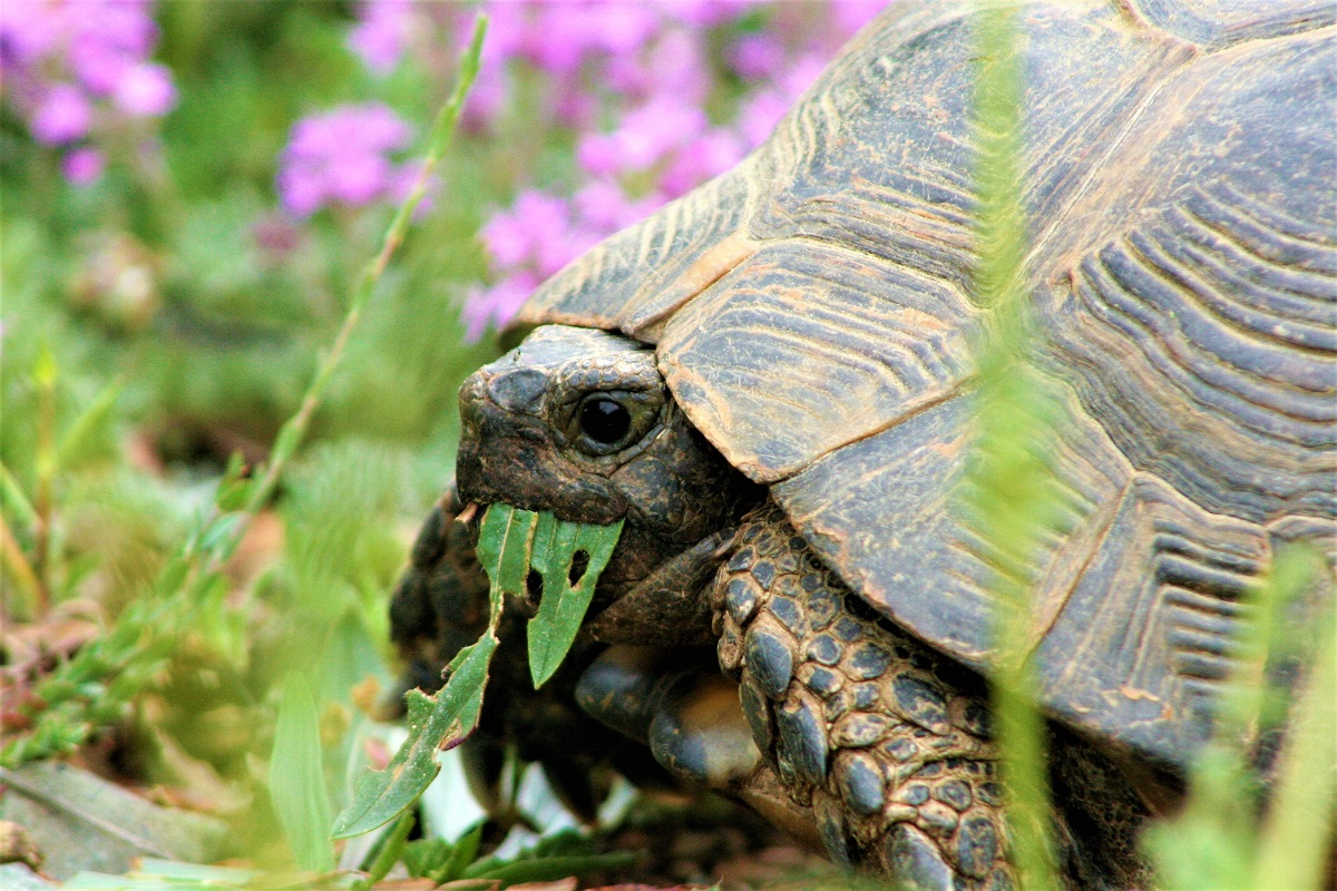 Ismaros turtle