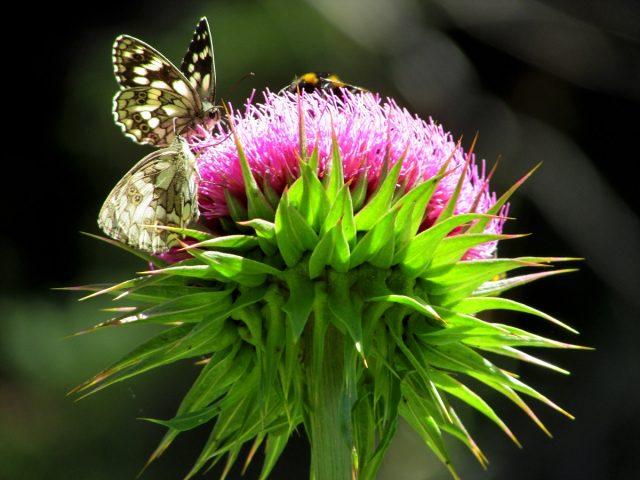 Butterfly Rhodopi