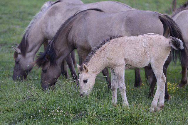 Tarpan horses